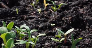 como se siembra el cilantro