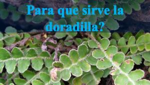 Planta medicinal doradilla para que sirve y como se prepara